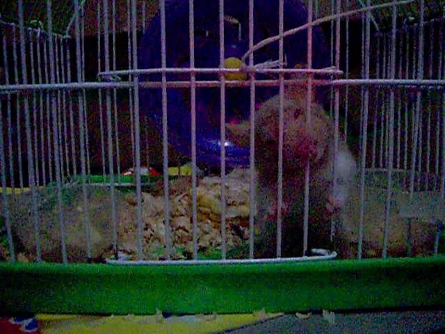 Hamster buka pintu 1
