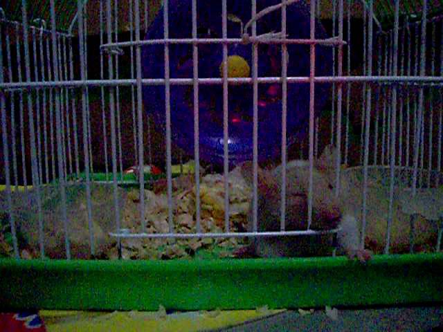 Hamster buka pintu 3
