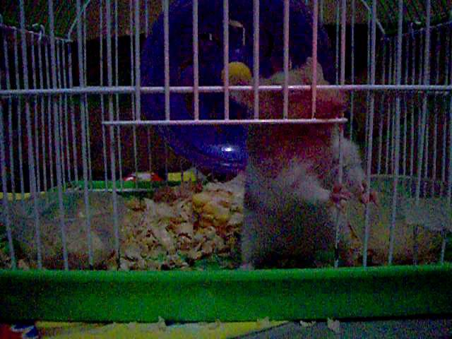 Hamster buka pintu 4