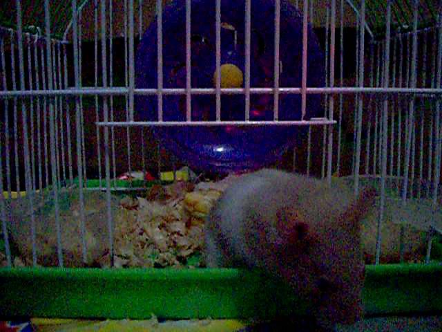 Hamster buka pintu 5