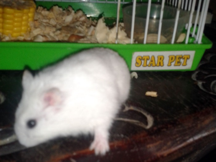 White Hamster Zimmy