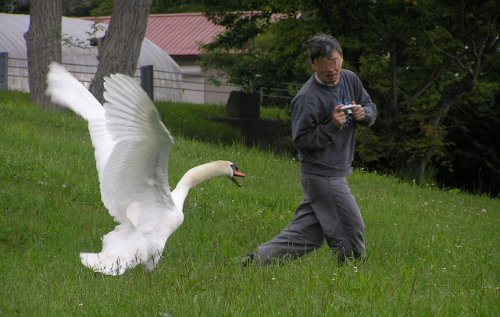 swan  attacks man