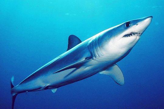 ikan hiu