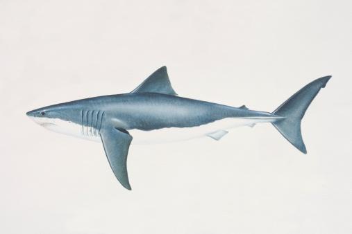 Shark hiu
