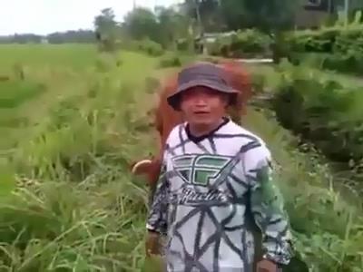Angon Sapi Ngarit Pake Ninja