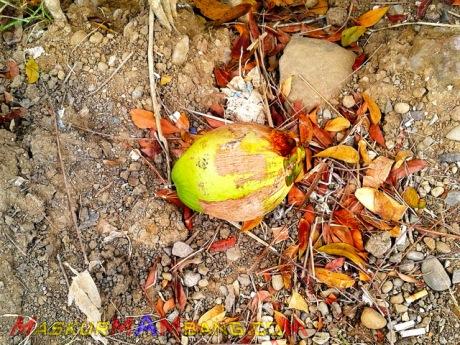 Hati-hati Parkir Di Bawah Pohon Kelapa 07