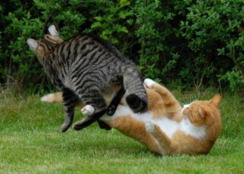 kucing berkelahi